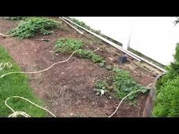 Hops On Trellis Bobby M Building A Trellis For Hop Plants Youtube