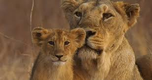 india u0027s wandering lions asiatic lion fact sheet nature pbs