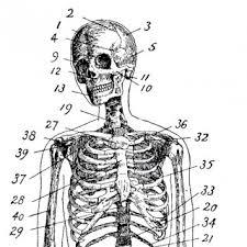 Human Anatomy Skeleton Diagram Anatomy Archives The Graphics Fairy
