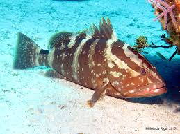 tiger grouper bahamas rolling harbour abaco