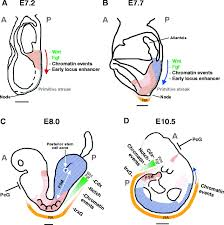 developmental regulation of the hox genes during axial