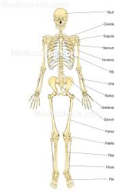 Anatomy And Physiology Skeletal System Test All The Parts Of The Skeletal System Human Anatomy Chart