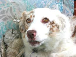 australian shepherd double coat deafness u0026 white australian shepherd health u0026 genetics institute