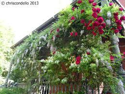 a plant a day till spring u2013 day 19 u2013 wisteria chriscondello