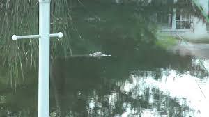 cora canap alligator in cape coral fl swimming in canal