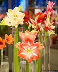 Amaryllis Flowers Amaryllis Bulbs 101 Martha Stewart
