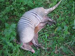 Can You Bury Animals In Your Backyard How To Kill Armadillos Is Poison The Answer