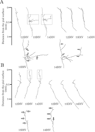 interplay between laminar specificity and activity dependent