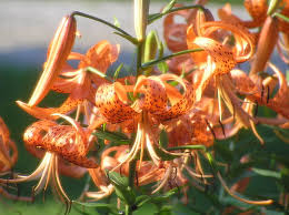 Lilies Flowers Tiger Lily Tiger Lillies Theflowerexpert