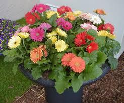 gerbera colors ngb s annual of the year 2013 gerbera master gardener program