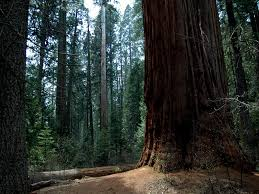 calaveras big trees state park a california park