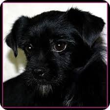 affenpinscher arizona affenpinscher dog for adoption in morehead ky adn 451017 on