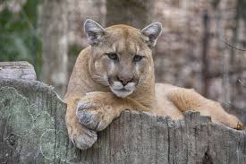 mountain lions threat bay area hikers bay curious