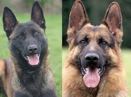 belgian sheepdog growth chart belgian malinois vs german shepherd which dog makes the perfect pet