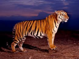 38 tiger hd wallpaper