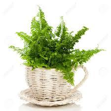 lush green fern in ornamental garden planter on white background
