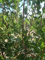 Prune Fruit Trees Xtremehorticulture Of The Desert 01 May 2016