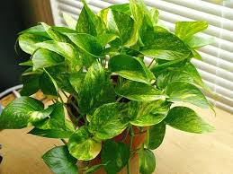 what types of houseplants are effective at removing indoor air