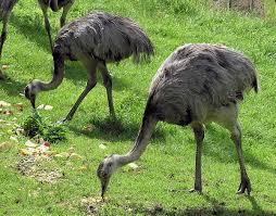 rhea bird wikipedia