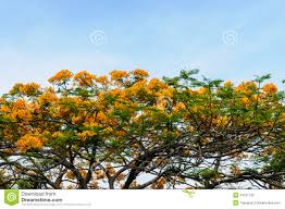 Yellow Flowering Trees - akanda tree its flower stock photos images u0026 pictures 2 127 images