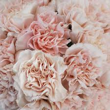 bulk carnations carnations in bulk picture suggestion for carnations bulk