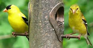 How To Attract Indigo Buntings To Your Backyard Ask Wet U0026 Forget Attract Birds To Your Garden With A Few Easy