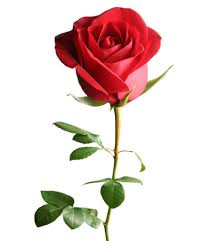 roses for valentines day 10 flower meanings symbolism of different kinds of flowers
