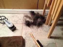 australian shepherd haircuts australian shepherd haircut summer shave time