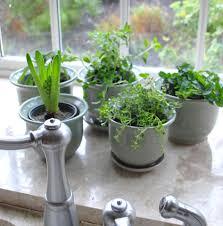 tea herb gardening indoors ideas