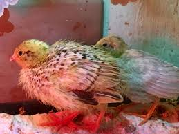 odd colored coturnix quail page 2 backyard chickens