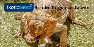 bearded dragon eat food beardie u0027s