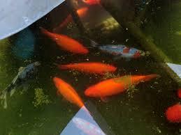 goldfish breathing heavily in backyard pond petcha