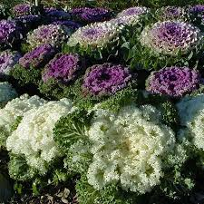 ornamental cabbage and kale wisconsin horticulture