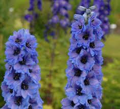 delphinium flowers delphinium elatum grp dubbelbloemig delphi s starlight