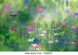 Bachelor Buttons Bachelor Buttons Flower Stock Photo Royalty Free Image 59362331