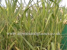 ornamental grasses catalogue uk