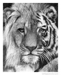 25 easy tiger drawing ideas tiger drawing