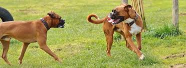 boxer dog health questions boxer dogs and puppies dog breeds journal