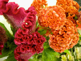 coxcomb flower how to save your coxcomb seeds mellano company