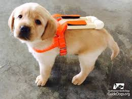 How To Get A Comfort Dog 21 Puppies Get A Taste Of Service Dog Training Mnn Mother