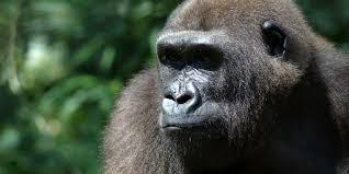 bbc earth how we u0027re learning to u0027speak gorilla u0027