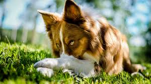 australian shepherd youtube 2560x1440 beautiful collie dog youtube channel cover