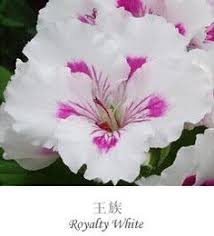 impatiens seeds violetsome plants root so easily that you can
