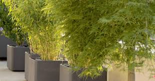 plant italiancypress stunning plants and trees for sale add to
