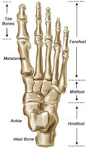Calcaneus Anatomy Anatomy Organ Pictures Bones Of The Foot Images Collection