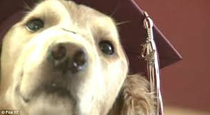 dog graduation cap and gown service dog for cerebral palsy sufferer to attend graduation