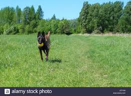 belgian shepherd victoria shepherd dog ball stock photos u0026 shepherd dog ball stock images