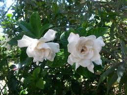gardening gardenias while difficult to grow have a beautiful