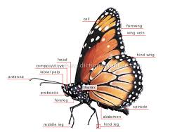kingdom insects and arachnids butterfly morphology