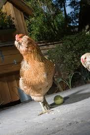 buy easter egger chickens easter egger for sale